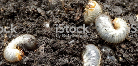Let's Talk Grubs - Did you know that grubs can severely impact the health and longevity of your lawn.